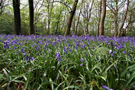Reffolds-BlueBells
